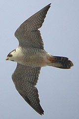 Birds of Castilla La Mancha, central Spain - Barbary falcon © John Muddeman