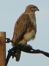 Common Buzzard © John Muddeman