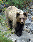 Brown Bear – Ursus arctos
