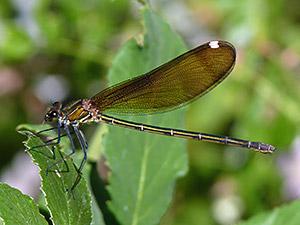 Bộ sưu tập Côn trùng - Page 3 Copper-Demoiselle-female@Calopteryx-haemorrhoidalis