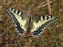 Swallowtail - Papilio machaon © Teresa Farino