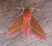 Elephant Hawk-moth - Deilephila elpenor © Teresa Farino