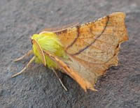 Canary-shouldered Thorn - Ennomos alniaria © Teresa Farino
