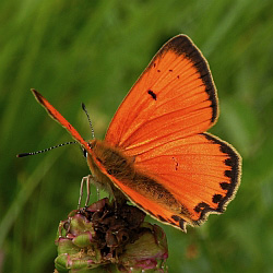 Male Scarce Copper - Lycaena virgaureae © Teresa Farino