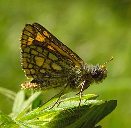 Chequered Skipper - Carterocephalus palaemon