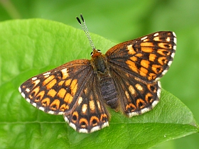 Duke of Burgundy Fritillary - Hamearis lucina