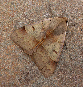 Lunar Double-stripe - Minucia lunaris