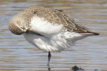 Birds and birdwtatching in Spain - Curlew Sandpiper © John Muddeman